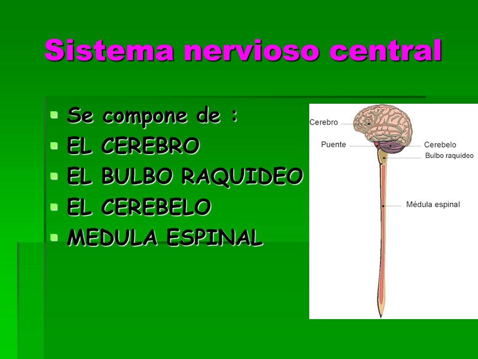 Sistema nervioso central Se compone de : Se compone de : EL CEREBRO EL CEREBRO EL BULBO RAQUIDEO EL BULBO RAQUIDEO EL CEREBELO EL CEREBELO MEDULA ESPINAL MEDULA ESPINAL