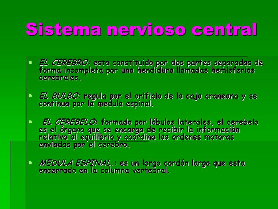 Sistema nervioso central EL CEREBRO: esta constituido por dos partes separadas de forma incompleta por una hendidura llamadas hemisferios cerebrales.