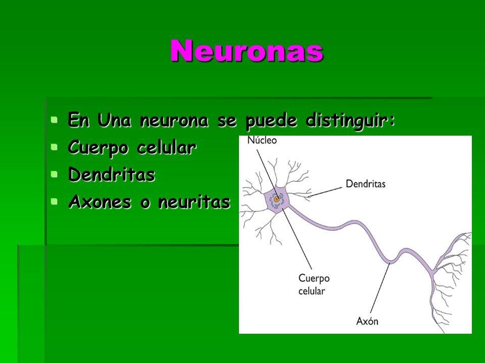 Neuronas En Una neurona se puede distinguir: En Una neurona se puede distinguir: Cuerpo celular Cuerpo celular Dendritas Dendritas Axones o neuritas Axones o neuritas