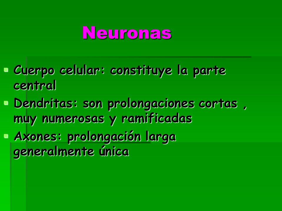 Neuronas Cuerpo celular: constituye la parte central Cuerpo celular: constituye la parte central Dendritas: son prolongaciones cortas, muy numerosas y ramificadas Dendritas: son prolongaciones cortas, muy numerosas y ramificadas Axones: prolongación larga generalmente única Axones: prolongación larga generalmente única