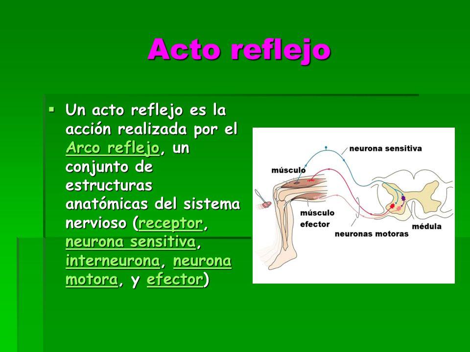 Acto reflejo Un acto reflejo es la acción realizada por el Arco reflejo, un conjunto de estructuras anatómicas del sistema nervioso (receptor, neurona sensitiva, interneurona, neurona motora, y efector) Un acto reflejo es la acción realizada por el Arco reflejo, un conjunto de estructuras anatómicas del sistema nervioso (receptor, neurona sensitiva, interneurona, neurona motora, y efector) Arco reflejoreceptor neurona sensitiva interneuronaneurona motoraefector Arco reflejoreceptor neurona sensitiva interneuronaneurona motoraefector