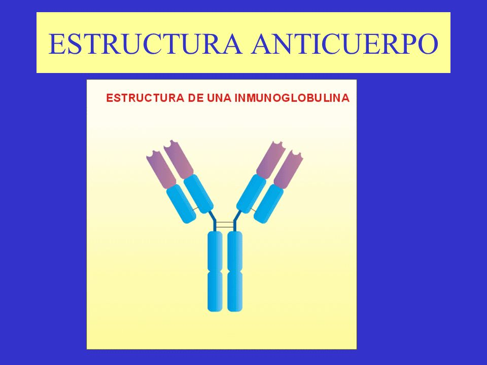 TIPOS DE ANTICUERPOS Pentámeros Afinidad por basófilos Receptores Dímero80% Linf.B 2 aria
