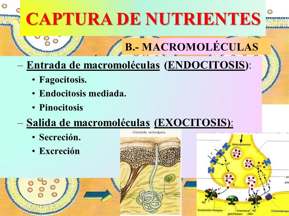 CAPTURA DE NUTRIENTES –Entrada de macromoléculas (ENDOCITOSIS): Fagocitosis. Endocitosis mediada. Pinocitosis –Salida de macromoléculas (EXOCITOSIS):
