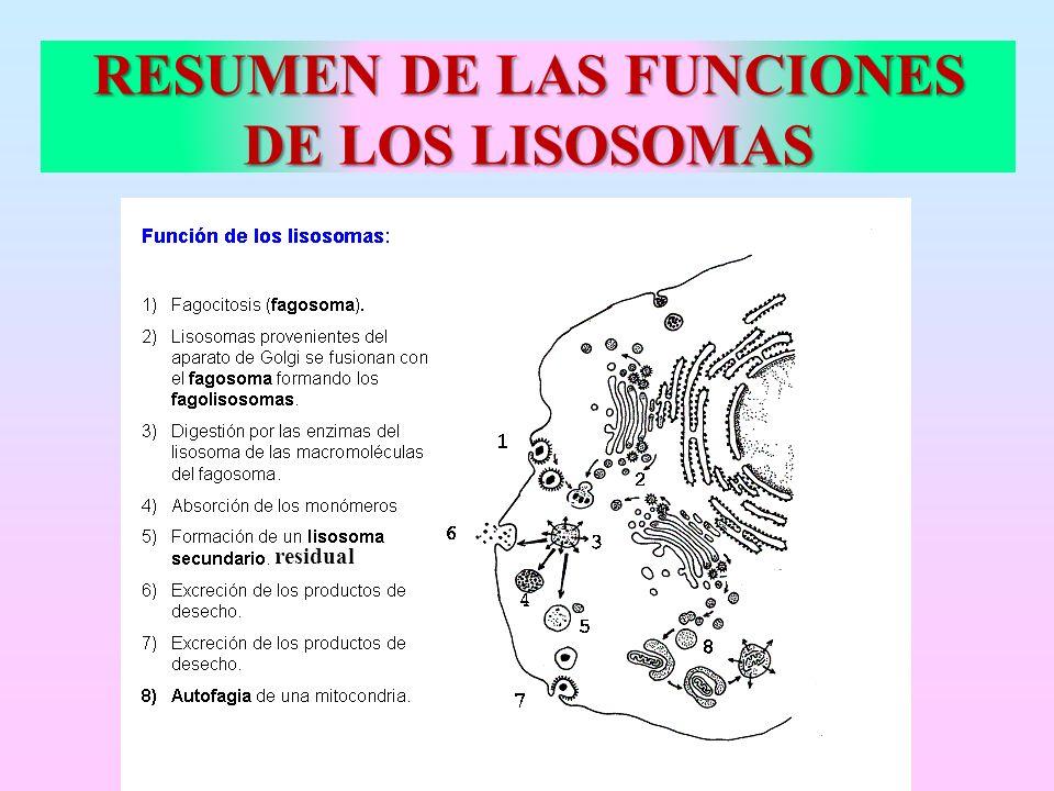 RESUMEN DE LAS FUNCIONES DE LOS LISOSOMAS residual