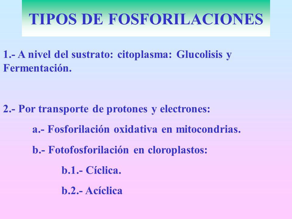 TIPOS DE FOSFORILACIONES 1.- A nivel del sustrato: citoplasma: Glucolisis y Fermentación. 2.- Por transporte de protones y electrones: a.- Fosforilaci
