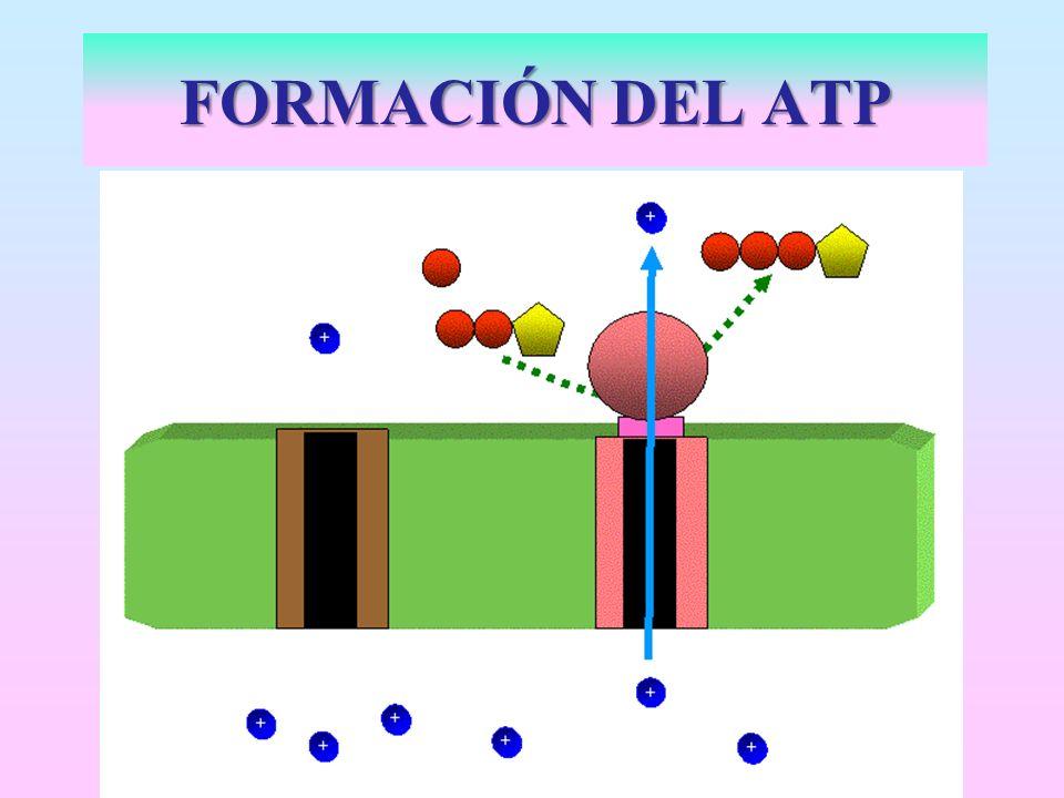 FORMACIÓN DEL ATP