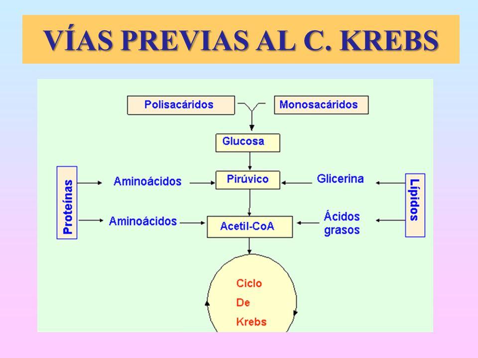 VÍAS PREVIAS AL C. KREBS