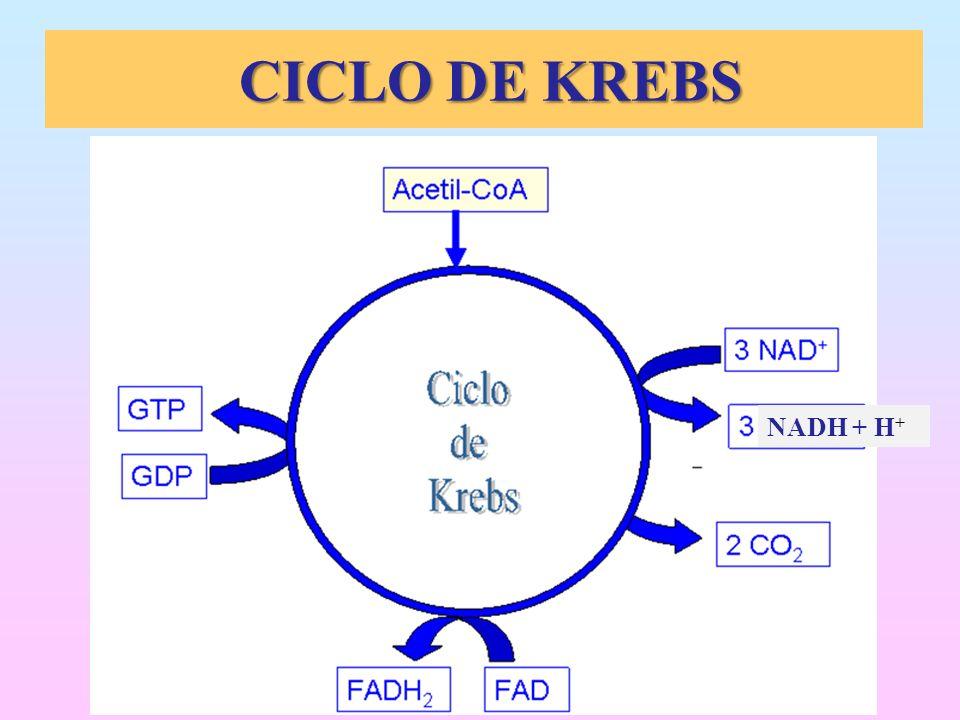 CICLO DE KREBS CICLO DE KREBS NADH + H +