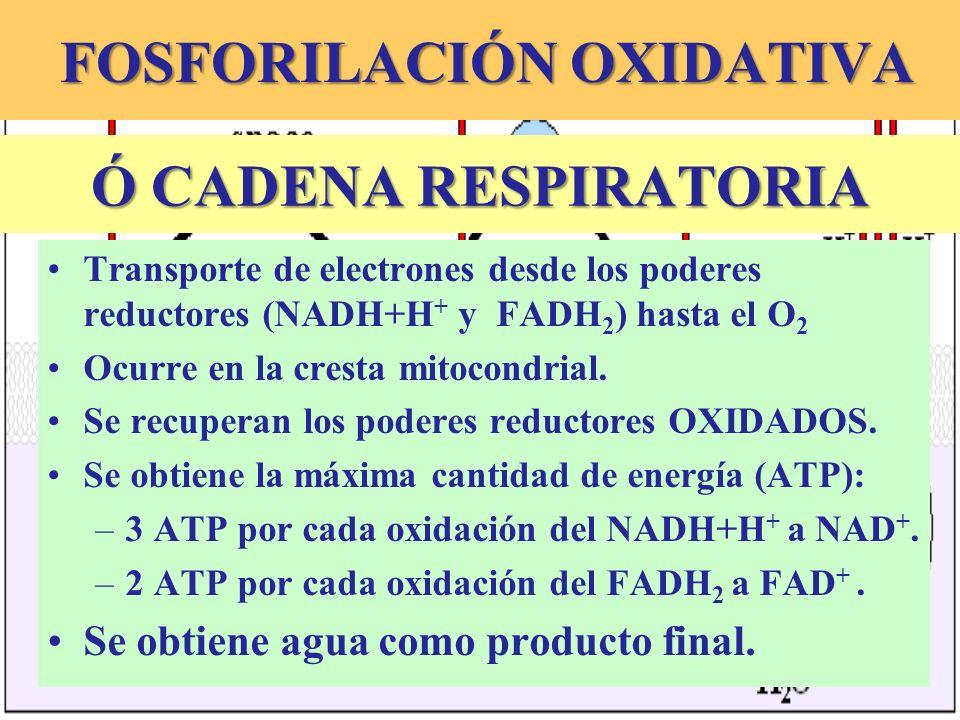 FOSFORILACIÓN OXIDATIVA FOSFORILACIÓN OXIDATIVA Transporte de electrones desde los poderes reductores (NADH+H + y FADH 2 ) hasta el O 2 Ocurre en la c