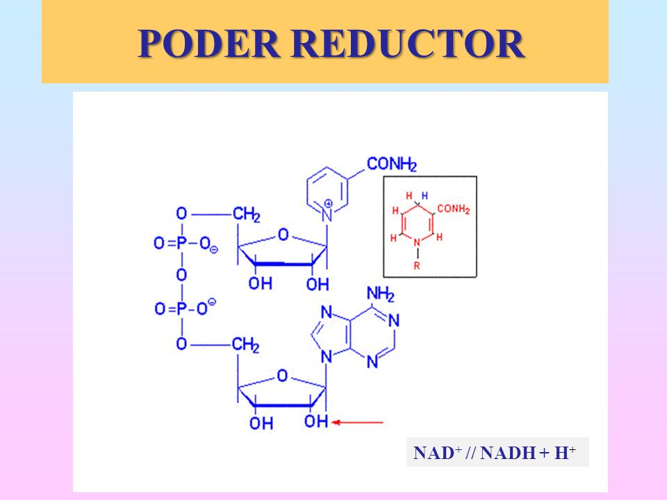 NAD + // NADH + H + PODER REDUCTOR PODER REDUCTOR
