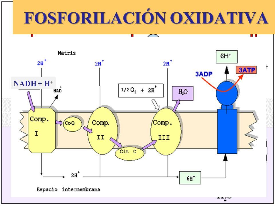 FOSFORILACIÓN OXIDATIVA FOSFORILACIÓN OXIDATIVA NADH + H +