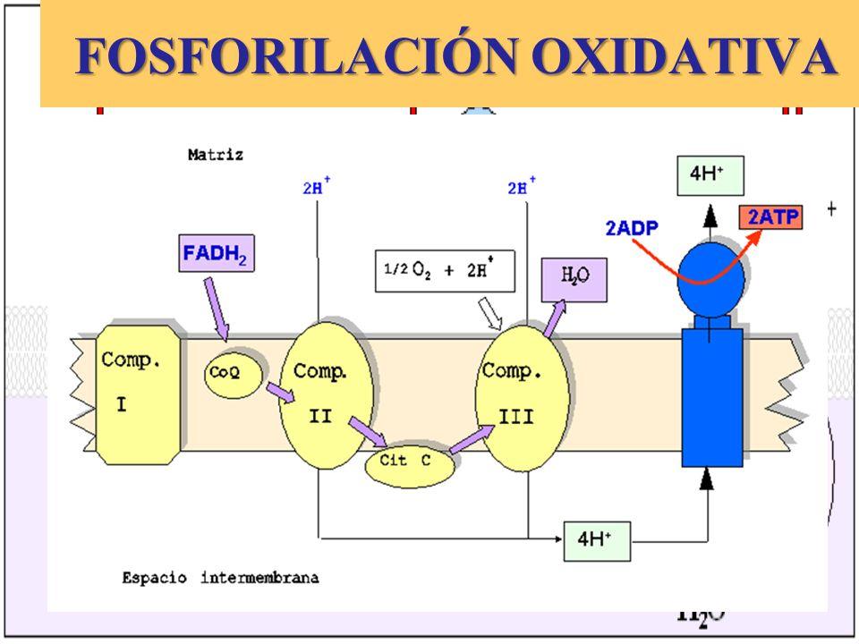 FOSFORILACIÓN OXIDATIVA FOSFORILACIÓN OXIDATIVA