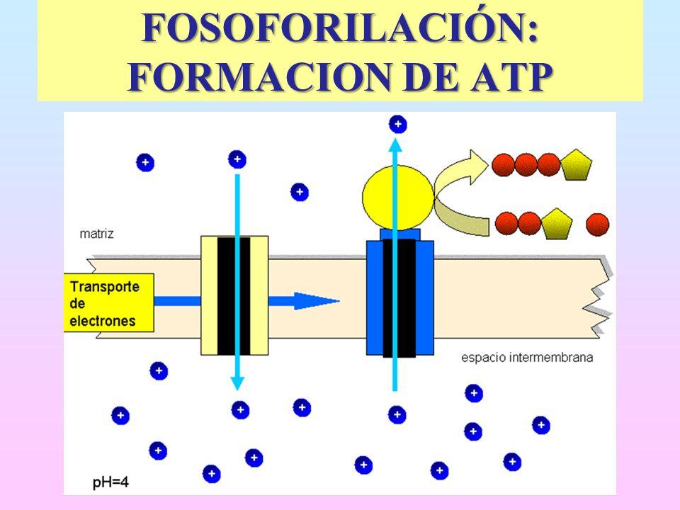 FOSOFORILACIÓN: FORMACION DE ATP