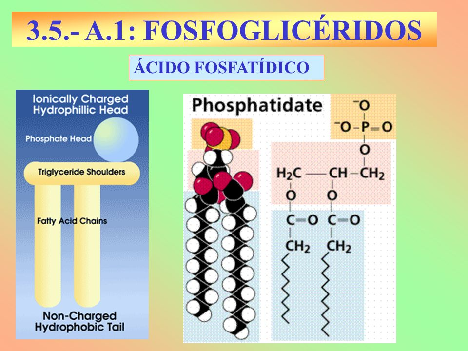 3.5.- A.1: FOSFOGLICÉRIDOS ÁCIDO FOSFATÍDICO