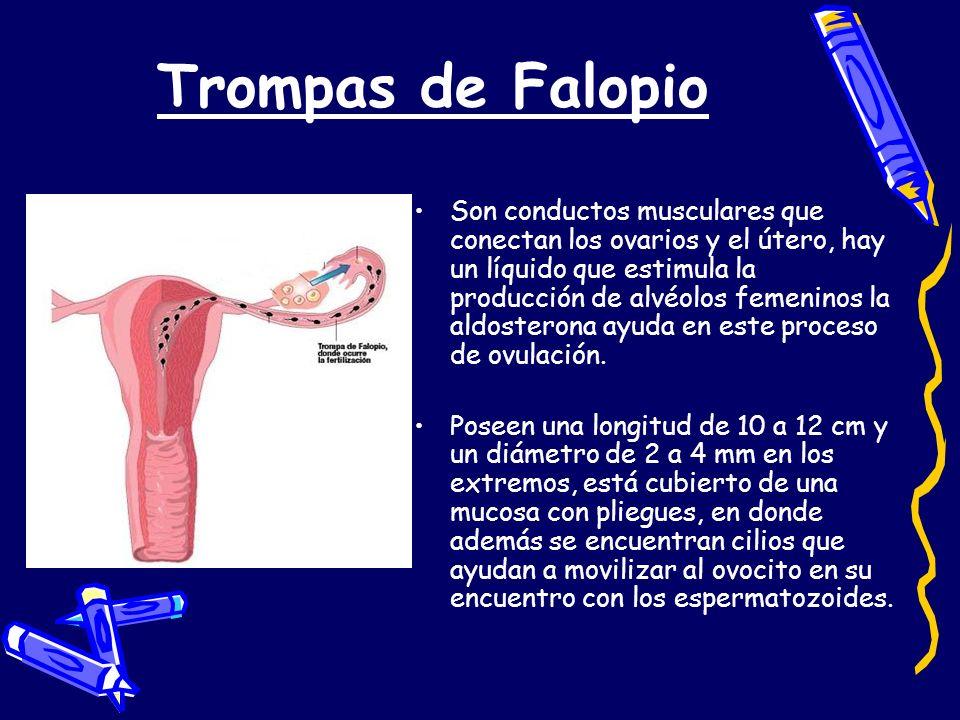 Trompas de Falopio Son conductos musculares que conectan los ovarios y el útero, hay un líquido que estimula la producción de alvéolos femeninos la al