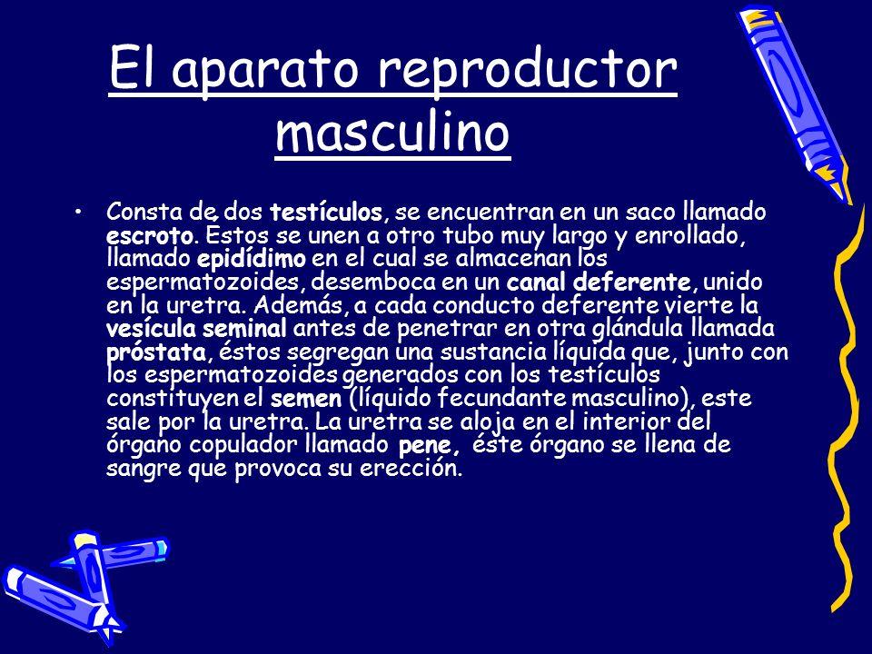 El aparato reproductor masculino Consta de dos testículos, se encuentran en un saco llamado escroto. Éstos se unen a otro tubo muy largo y enrollado,