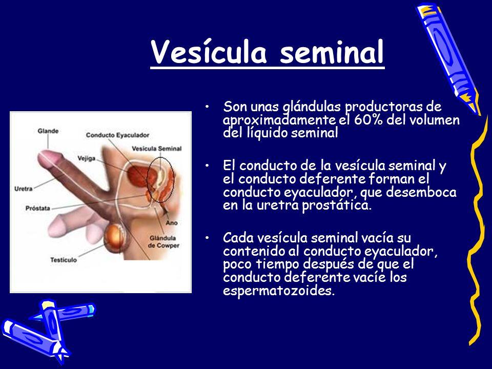 Vesícula seminal Son unas glándulas productoras de aproximadamente el 60% del volumen del líquido seminal El conducto de la vesícula seminal y el cond