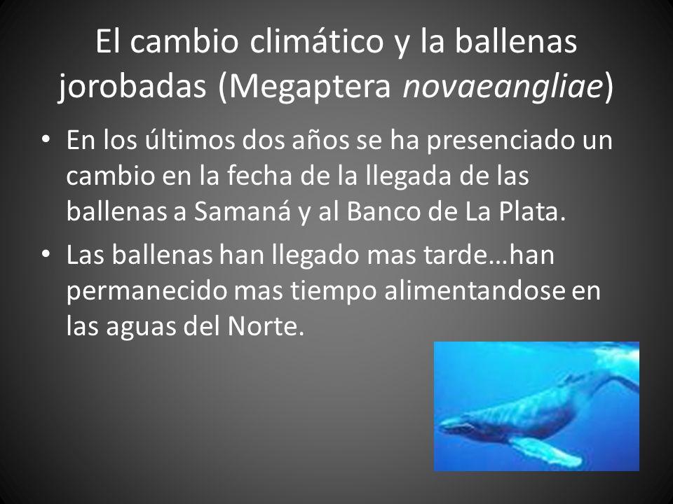 El cambio climático y la ballenas jorobadas (Megaptera novaeangliae) En los últimos dos años se ha presenciado un cambio en la fecha de la llegada de