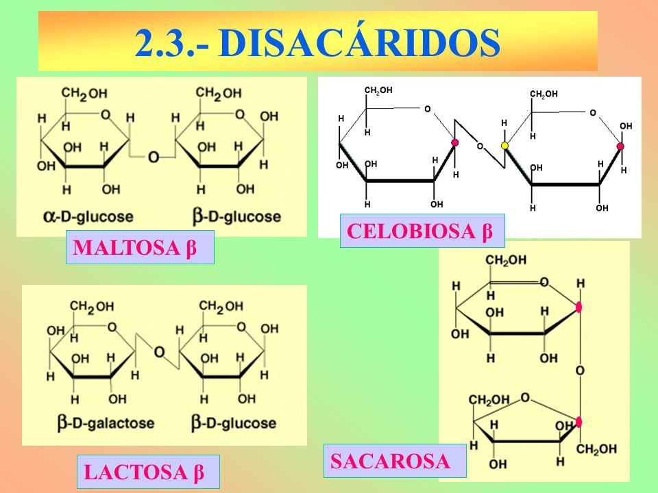 2.3.- DISACÁRIDOS MALTOSA β LACTOSA β SACAROSA CELOBIOSA β
