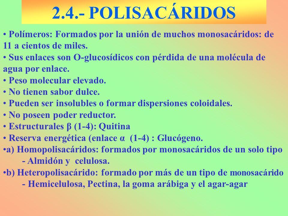 2.4.- POLISACÁRIDOS Polímeros: Formados por la unión de muchos monosacáridos: de 11 a cientos de miles. Sus enlaces son O-glucosídicos con pérdida de