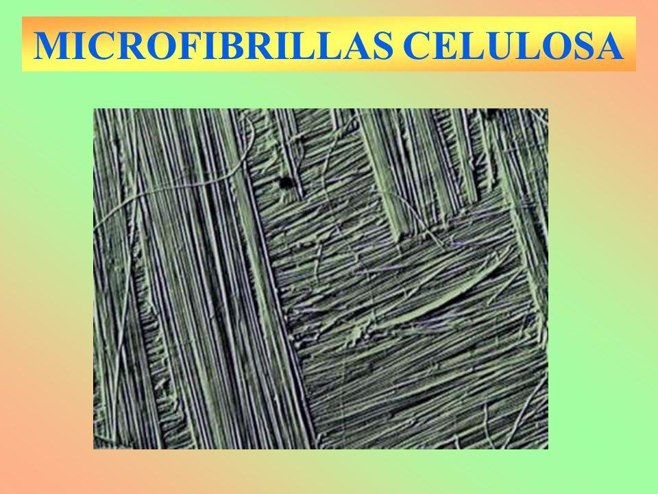MICROFIBRILLAS CELULOSA