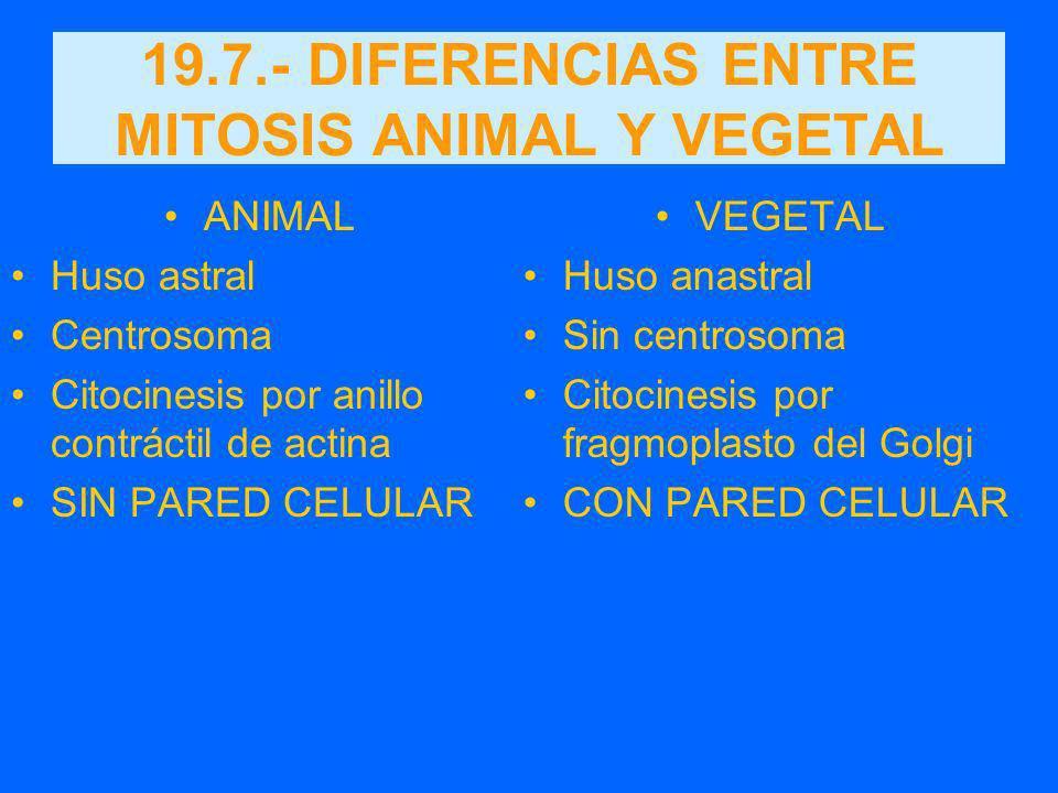 19.7.- DIFERENCIAS ENTRE MITOSIS ANIMAL Y VEGETAL ANIMAL Huso astral Centrosoma Citocinesis por anillo contráctil de actina SIN PARED CELULAR VEGETAL