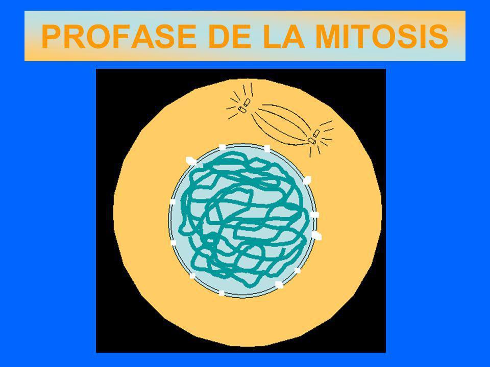 La célula se alarga por efecto del huso mitótico.