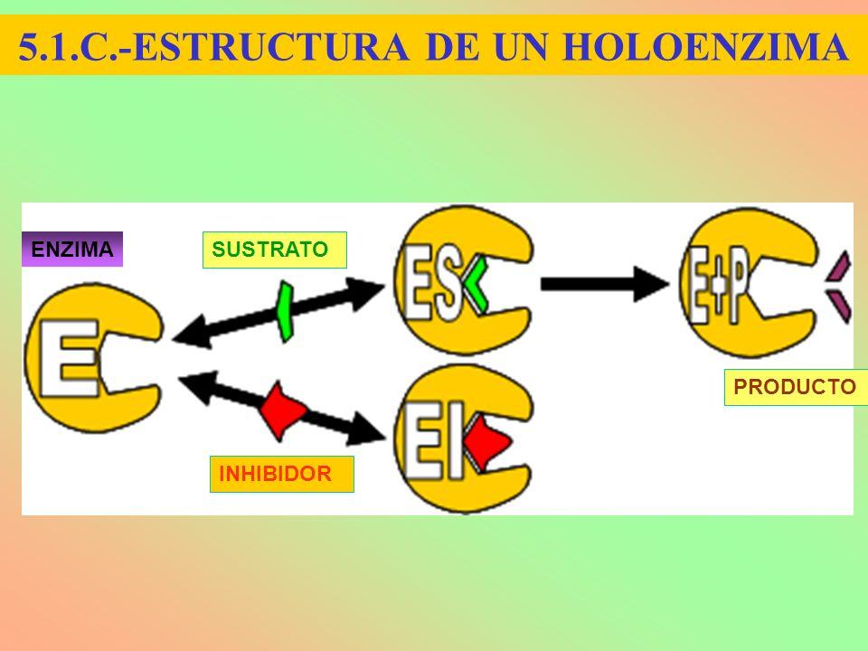 5.1.C.-ESTRUCTURA DE UN HOLOENZIMA SUSTRATO INHIBIDOR PRODUCTO ENZIMA