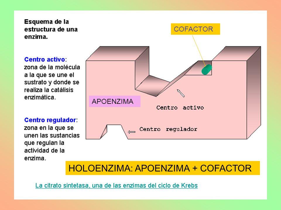 APOENZIMA COFACTOR HOLOENZIMA: APOENZIMA + COFACTOR