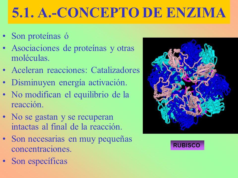 Son proteínas ó Asociaciones de proteínas y otras moléculas. Aceleran reacciones: Catalizadores Disminuyen energía activación. No modifican el equilib