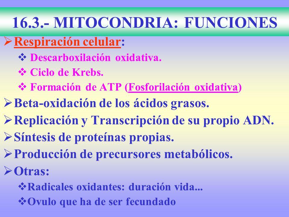 16.3.- MITOCONDRIA: FUNCIONES Respiración celular: Descarboxilación oxidativa. Ciclo de Krebs. Formación de ATP (Fosforilación oxidativa) Beta-oxidaci