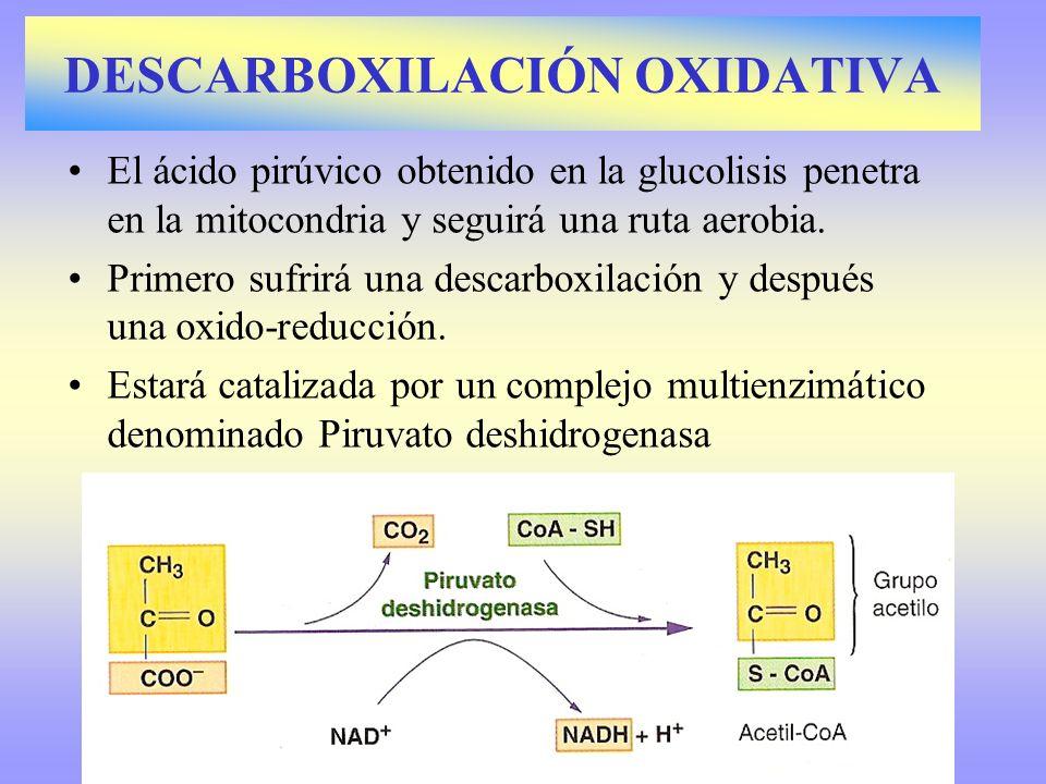 El ácido pirúvico obtenido en la glucolisis penetra en la mitocondria y seguirá una ruta aerobia. Primero sufrirá una descarboxilación y después una o