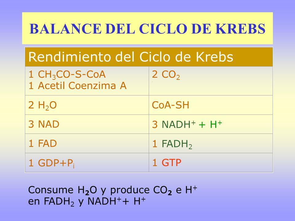 BALANCE DEL CICLO DE KREBS Rendimiento del Ciclo de Krebs 1 CH 3 CO-S-CoA 1 Acetil Coenzima A 2 CO 2. 2 H 2 OCoA-SH 3 NAD3 NADH + + H + 1 FAD1 FADH 2