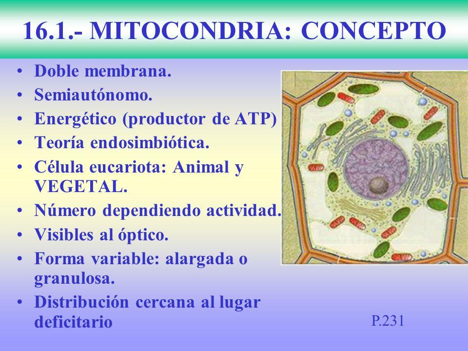 Doble membrana. Semiautónomo. Energético (productor de ATP) Teoría endosimbiótica. Célula eucariota: Animal y VEGETAL. Número dependiendo actividad. V