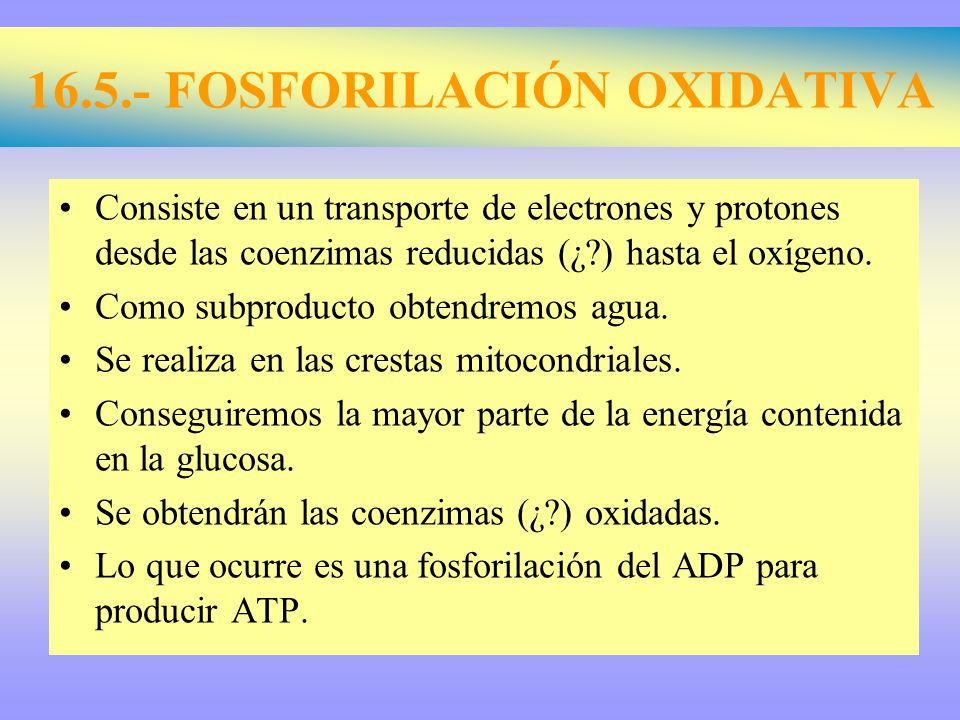 16.5.- FOSFORILACIÓN OXIDATIVA Consiste en un transporte de electrones y protones desde las coenzimas reducidas (¿?) hasta el oxígeno. Como subproduct