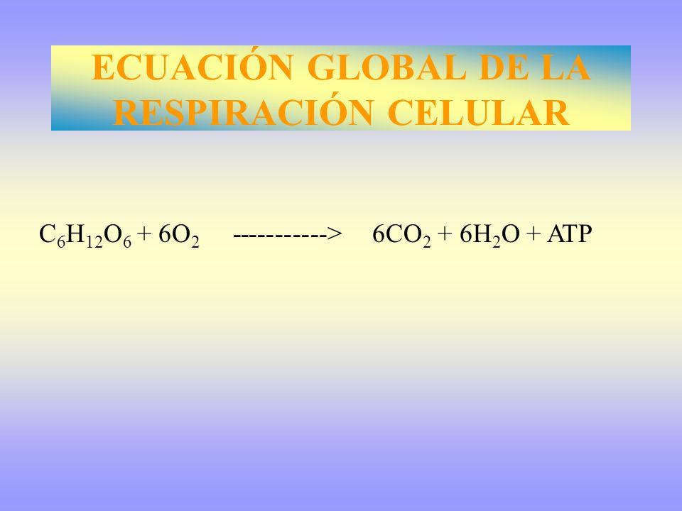 C 6 H 12 O 6 + 6O 2 -----------> 6CO 2 + 6H 2 O + ATP ECUACIÓN GLOBAL DE LA RESPIRACIÓN CELULAR