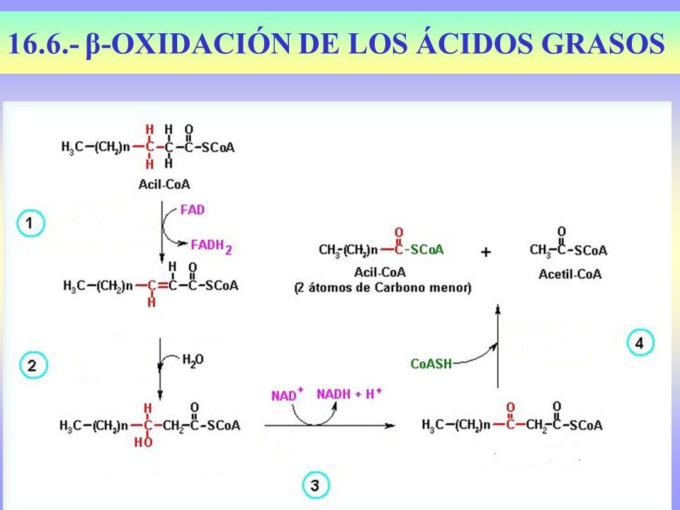 16.6.- β-OXIDACIÓN DE LOS ÁCIDOS GRASOS