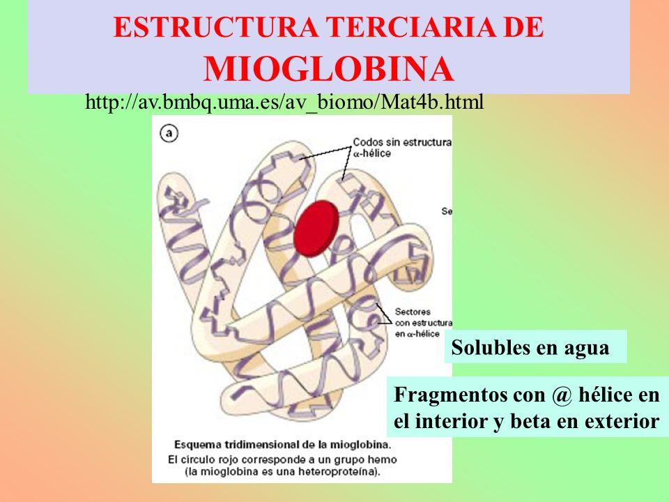 ESTRUCTURA TERCIARIA DE MIOGLOBINA http://av.bmbq.uma.es/av_biomo/Mat4b.html Solubles en agua Fragmentos con @ hélice en el interior y beta en exterio
