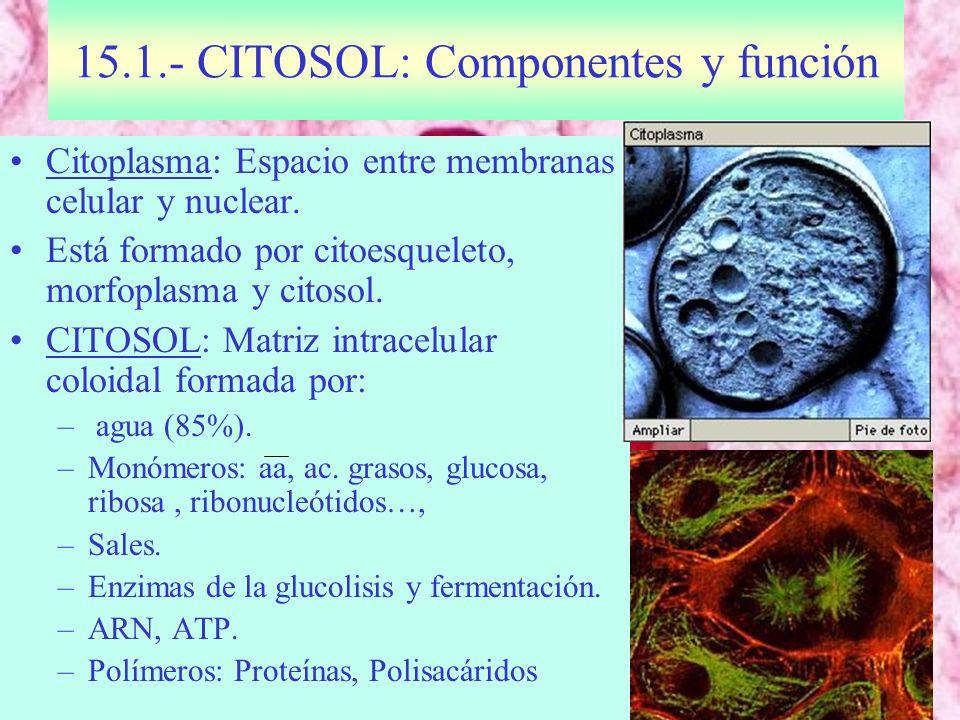 15.1.- CITOSOL: Componentes y función Citoplasma: Espacio entre membranas celular y nuclear. Está formado por citoesqueleto, morfoplasma y citosol. CI