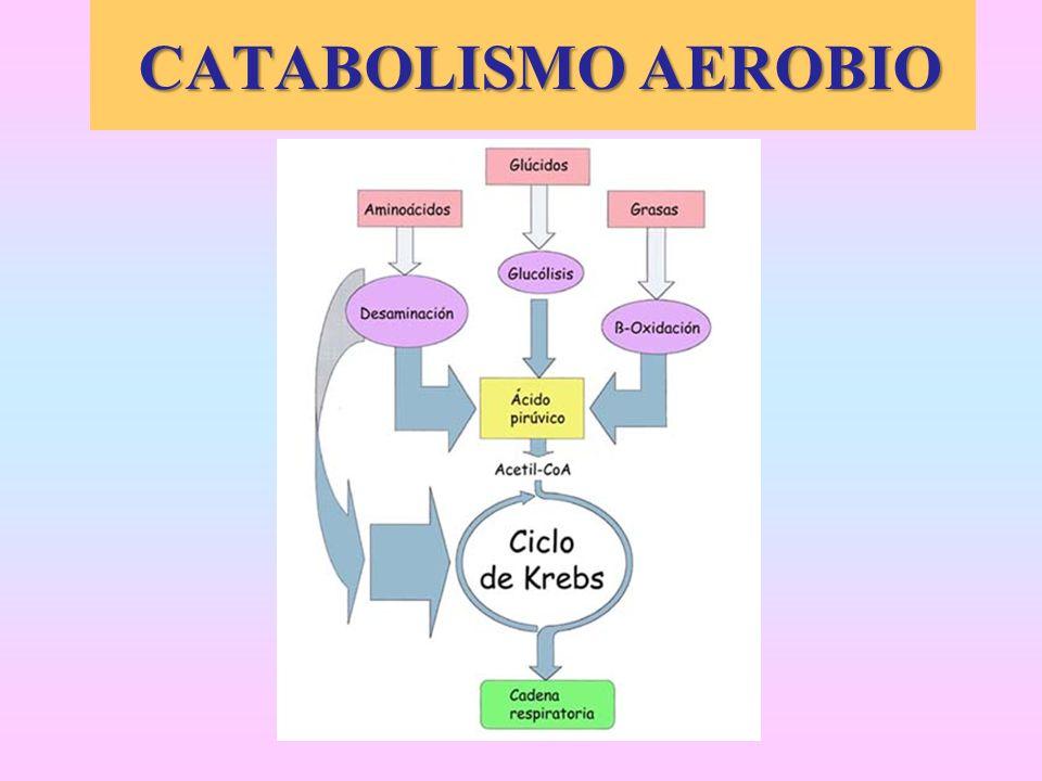CATABOLISMO AEROBIO CATABOLISMO AEROBIO
