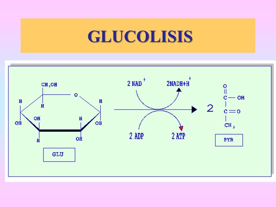 GLUCOLISIS GLUCOLISIS