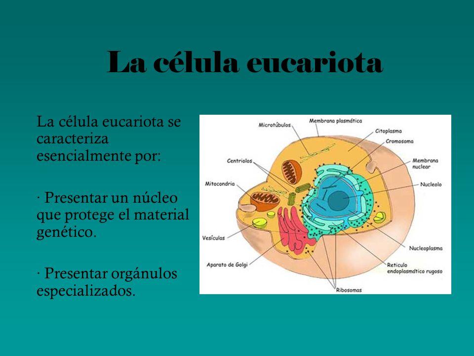 La célula eucariota La célula eucariota se caracteriza esencialmente por: · Presentar un núcleo que protege el material genético. · Presentar orgánulo