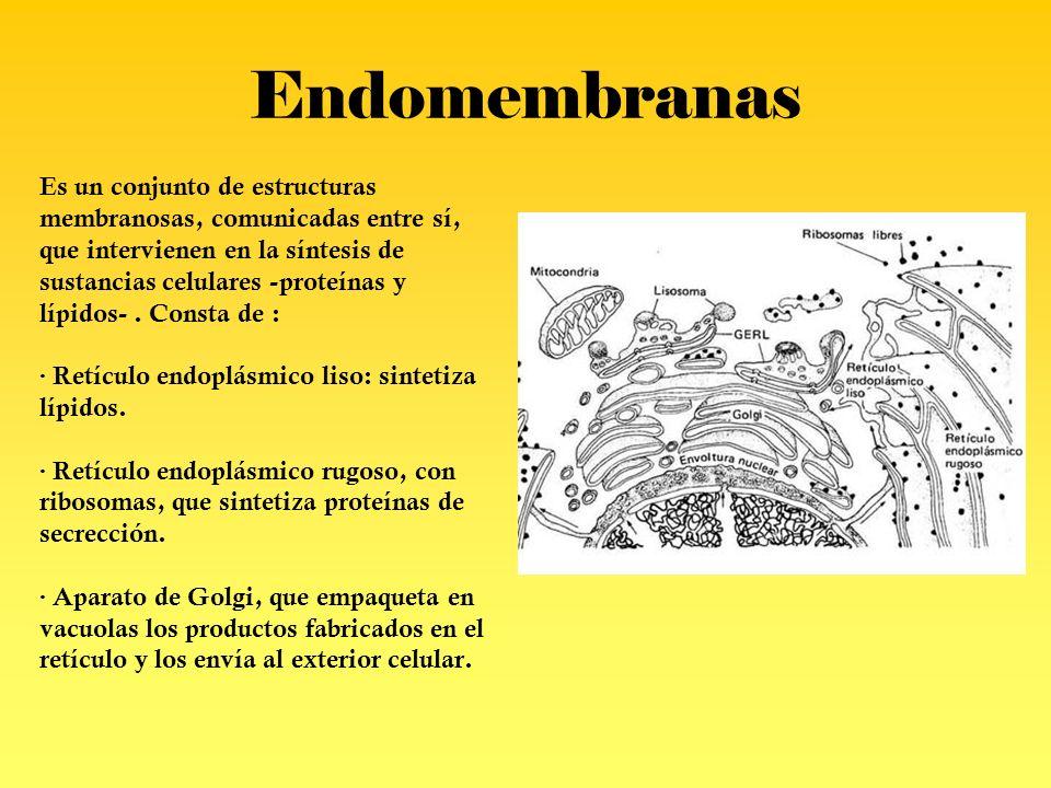 Endomembranas Es un conjunto de estructuras membranosas, comunicadas entre sí, que intervienen en la síntesis de sustancias celulares -proteínas y líp