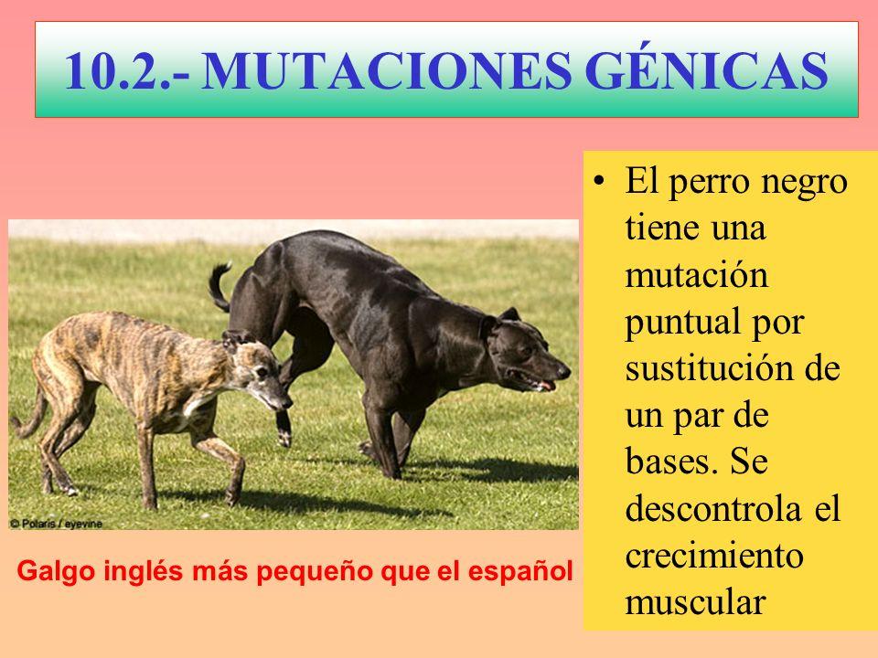 10.2.- MUTACIONES GÉNICAS El perro negro tiene una mutación puntual por sustitución de un par de bases. Se descontrola el crecimiento muscular Galgo i