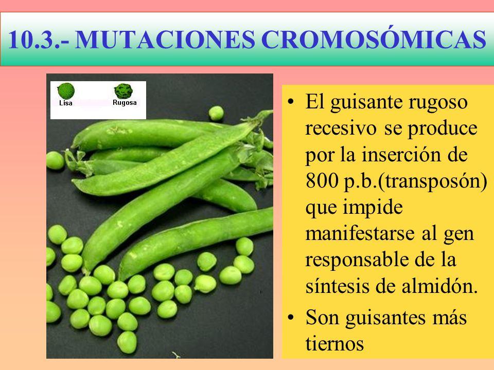10.3.- MUTACIONES CROMOSÓMICAS El guisante rugoso recesivo se produce por la inserción de 800 p.b.(transposón) que impide manifestarse al gen responsa