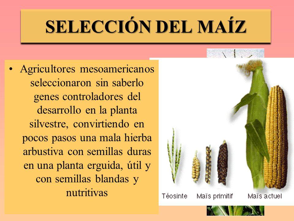 SELECCIÓN DEL MAÍZ Teosinte: Maíz silvestre Agricultores mesoamericanos seleccionaron sin saberlo genes controladores del desarrollo en la planta silv
