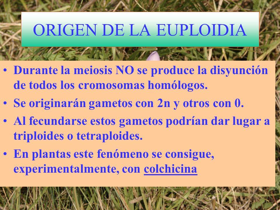 ORIGEN DE LA EUPLOIDIA Durante la meiosis NO se produce la disyunción de todos los cromosomas homólogos. Se originarán gametos con 2n y otros con 0. A