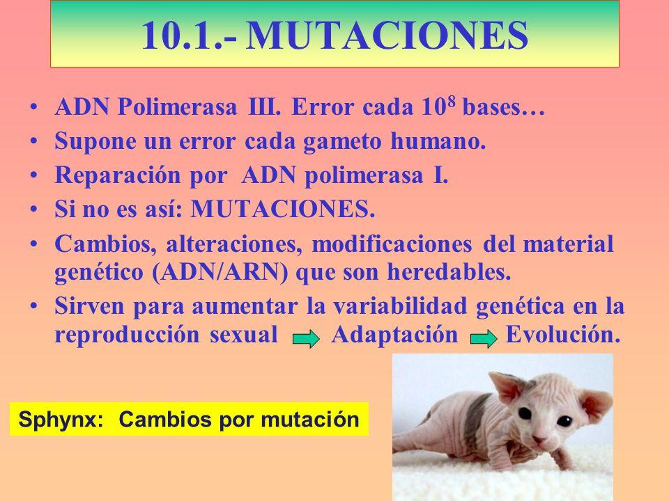10.1.- MUTACIONES ADN Polimerasa III. Error cada 10 8 bases… Supone un error cada gameto humano. Reparación por ADN polimerasa I. Si no es así: MUTACI