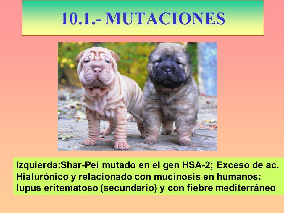 10.1.- MUTACIONES Izquierda:Shar-Pei mutado en el gen HSA-2; Exceso de ac. Hialurónico y relacionado con mucinosis en humanos: lupus eritematoso (secu