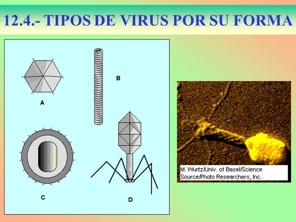 12.4.- TIPOS DE VIRUS POR SU FORMA